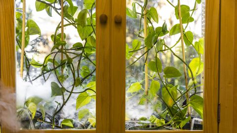 Caption: For plants in the home to be able to effectively remove hazardous molecules from the air, they would also need to be inside an enclosure with something to move air past their leaves, like a fan.  Credit: Mark Stone/University of Washington