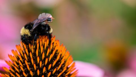 Caption: Computer scientists and engineers at the University of Washington have created a sensor package that is small enough to ride aboard a bumblebee.Credit: Mark Stone/University of Washington
