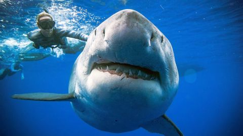 """TOPSHOT - Diver Ocean Ramsey (@oceanramsey) swims next to a female great white shark off the coast of Oahu, Hawaii on January 15, 2019. - Great white sharks are extremely rare in Hawaii and this individual may be one of the largest recorded, it shows similar markings to Deep Blue a shark Ocean Ramsey studied in Isla Guadalupe, Mexico where she has done most of her work with white sharks. Shark populations around Hawaii are declining and there are no laws to protect sharks from being killed for their fins. The @OneOceanDiving research team study shark behavior and teach people how to avoid adverse interactions. Their research and work aims to help reduce shark related fatalities and educate others on the importance of sharks. (Photo by @oceanramsey / http://OneOceanDiving.Com / AFP) / RESTRICTED TO EDITORIAL USE - MANDATORY CREDIT @OceanRamsey /http://OneOceanDiving.Com """""""" - NO MARKETING NO ADVERTISING CAMPAIGNS - DISTRIBUTED AS A SERVICE TO CLIENTS --- NO ARCHIVE ---@OCEANRAMSEY/AFP/Getty Images"""