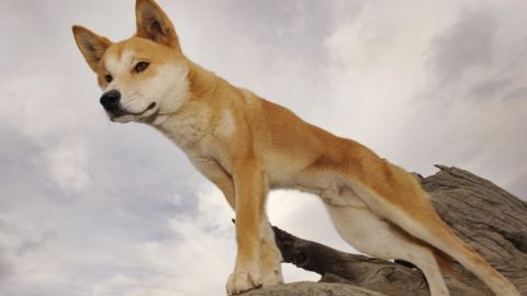 A dingo stands in an enclosure at the Dingo Discovery and Research Center in rural Victoria.