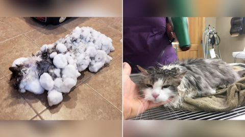 Fluffy the cat buried in snow was brought in to a vet frozen and unresponsive. Her temperature was very low but after many hours she recovered and is now completely normal. CREDIT: Courtesy Animal Clinic of Kalispell