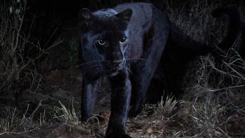 Will Burrard-Lucas  shot the images of the black leopard at Laikipia Wilderness Camp using a Camtraptions Camera.