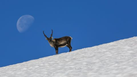 Reindeer will move onto snow and ice on hot summer days to avoid pestering insects. The ancient hunters knew this and hunted the reindeer on the ice, which is why so many hunting tools were lost in the snow on these sites.