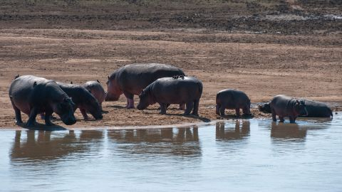 Hippopotamuses gather on the shore of the Luangwa River in South Luangwa National Park in eastern Zambia.