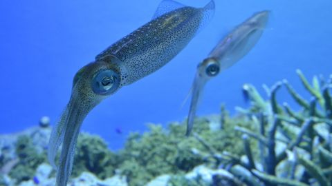Researchers believe proteins found in squid could be used to make alternatives to plastic.