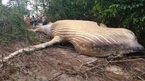 This dead baby humpback whale was found in a mangrove forest in Brazil, not far from shore.