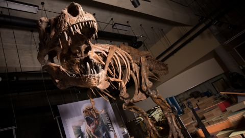 """The towering and battle-scarred """"Scotty"""" is the world's largest Tyrannosaurus rex and the largest dinosaur skeleton ever found in Canada."""