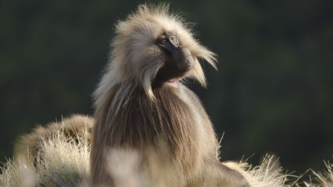 A gelada baboon in Ethiopia in 'Hostile Planet'  (National Geographic/Miguel Willis)