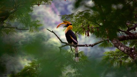 A Great Hornbill in India in 'Our Planet'