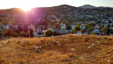 Johnny Gonzales' goats at work in Lemon Grove, near San Diego.