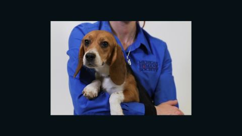 A beagle freed from an animal testing lab is up for adoption at the Michigan Humane Society.