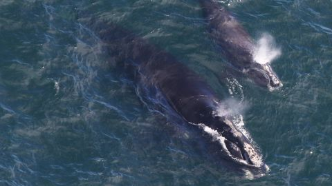 North Atlantic whale EgNo 4180 and her 2019 calf photographed by the CCS aerial survey team in Cape Cod Bay on 4/11/19.