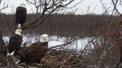 The three birds share hunting and nest-maintenance duties.
