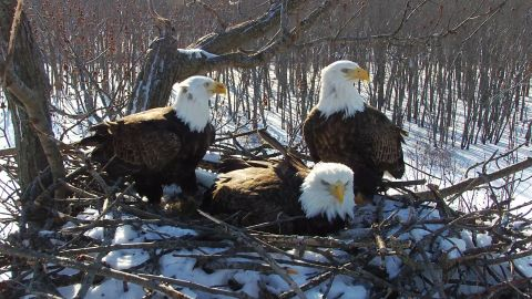 Three bald eagles are tackling the challenges of parenting at this nest in Illinois.