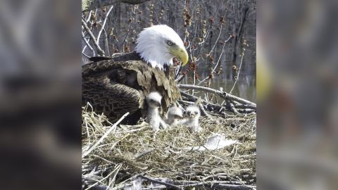 Starr, the mother, in the nest with her three eaglets.