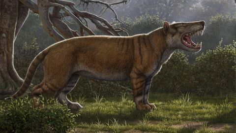 An artist's illustration of Simbakubwa kutokaafrika, a gigantic carnivore that lived 23 million years ago. It is known from fossils of most of its jaw, portions of its skull and parts of its skeleton. It was a hyaenodont, a now-extinct group of mammalian carnivores, that was larger than a modern-day polar bear.