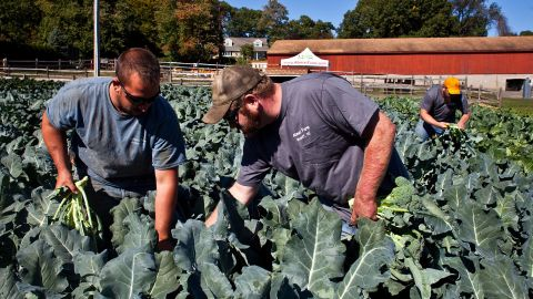 Darren Ehlers, (left) Jimmy Abma (center) and Josh Abma (right) cut heads of broccoli at Abma's Farm on Lawlins Road in Wyckoff, N.J., on Friday, October 7, 2016.