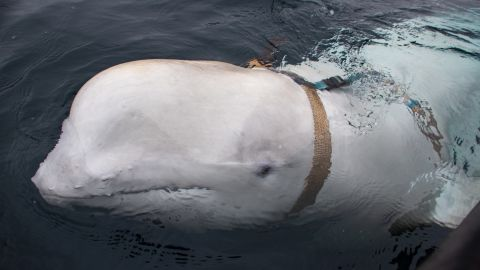 Experts believe a beluga whale spotted off the coast of Norway was trained by the Russian navy.