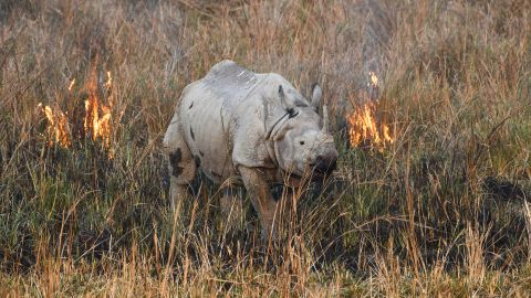 An Indian rhinoceros, also called the greater one-horned rhinoceros, walks through a wildfire in a field at Pobitora Wildlife Sanctuary in Morigaon district, some 45 kms from Guwahati in the Assam state on March 3, 2019. - World Wildlife Day is observed on March 3, the signature day of the Convention on International Trade in Endangered Species of Wild Fauna and Flora (CITES), to raise awareness of the world's wild animals and plants. (Photo by Biju BORO / AFP)        (Photo credit should read BIJU BORO/AFP/Getty Images)