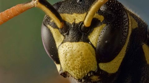 Paper wasps are the first invertebrates to show evidence of transitive inference, a kind of logical reasoning.