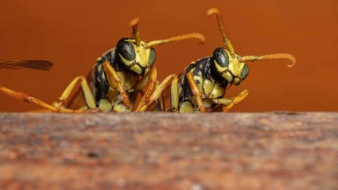 Researchers from the University of Michigan found the wasps could infer unknown relationships from known ones.