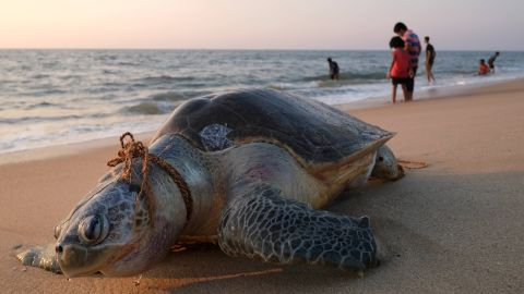In this photo taken on January 10, 2019 an olive ridley sea turtle lays dead with a rope around its neck on Marari Beach near Mararikulum in southern India's Kerala state. - Getting tangled in nets and ropes used in the fishing industry are a frequent hazard for vulnerable olive ridley sea turtles, which hatch by the millions in their largest nesting grounds each year along the coast of Odisha state in southeast India. (Photo by SOREN ANDERSSON / AFP)        (Photo credit should read SOREN ANDERSSON/AFP/Getty Images)