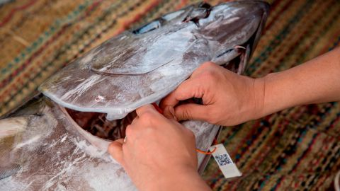 A yellowfin tuna is tagged with a QR code on board fishing vessel in Fiji