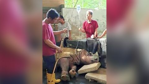 Experts believe there are fewer than 80 Sumatran rhinos left in the wild.