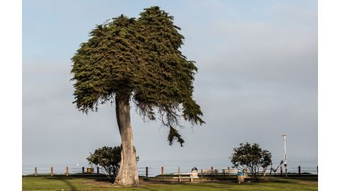 The Monterey Cypress was estimated to be about 80 to 100 years old, a city spokesman said.