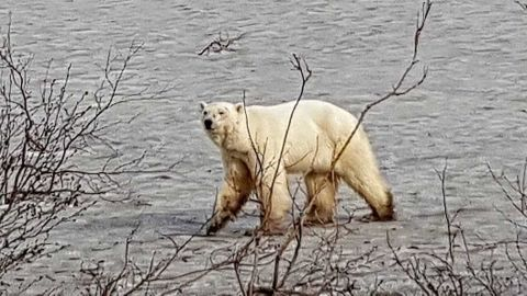 A polar bear has been spotted in the vicinity of Norilsk in Russia's Krasnoyarsk region, the city's Civil Defense and Emergency Management Department said, according to the Russian state news agency TASS.