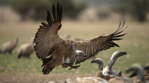 A cape vulture spreads its wings as it flies low at the VulPro Vulture Rehabilitation Centre in South Africa on September 15, 2015.