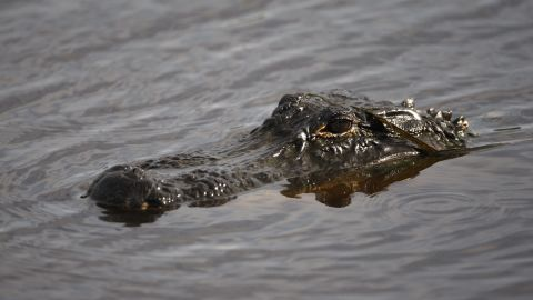 An alligator makes its way along the first hole of a golf course on South Carolina's Kiawah Island  in 2012.