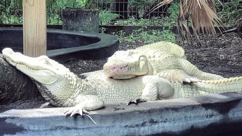 Albino alligators Blizzard and Snowflake are soon to be parents.