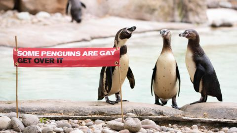 ZSL London Zoo has a colony of 93 Humboldt penguins, including the gay couple Ronnie and Reggie.