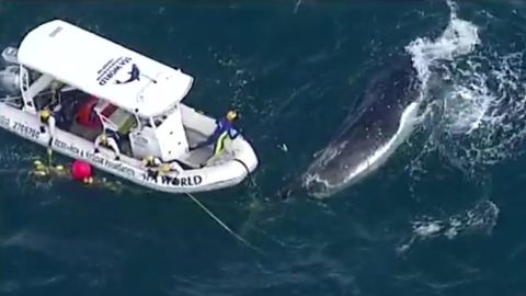 Rescuers cut free a humpback whale that was caught in a shark net.