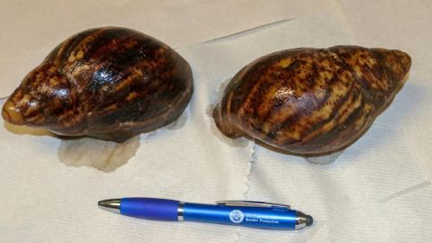 Two Giant African Snails were seized at Hartsfield-Jackson Atlanta International Airport.