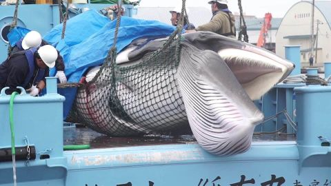 A whale caught in Japan's first hunt after its ban on commercial hunting in domestic waters was lifted on July 1, 2019.