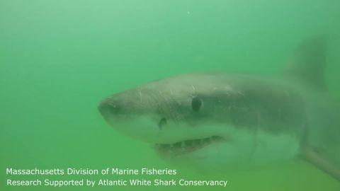 atlantic white shark conservancy_00002014.jpg