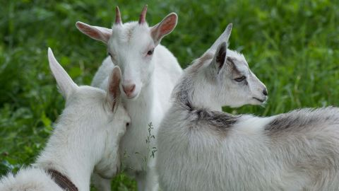 """""""Positive"""" and """"negative"""" goat calls were recorded for the study, and played to other goats in order to measure their response."""