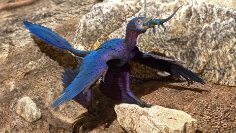 An illustration of a Microraptor as it swallows a lizard whole during the Cretaceous period. The well-preserved fossils of the Microraptor and the lizard were both found, leading to the discovery that the lizard was a previously unknown species.