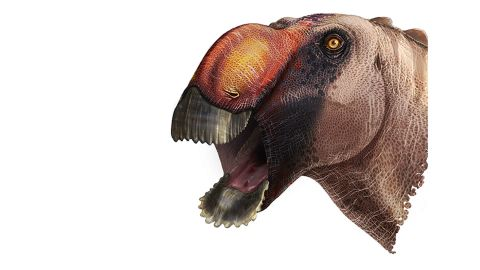 This primitive dinosaur had a wide W-shaped jaw and a solid bony crest resembling a humped nose.