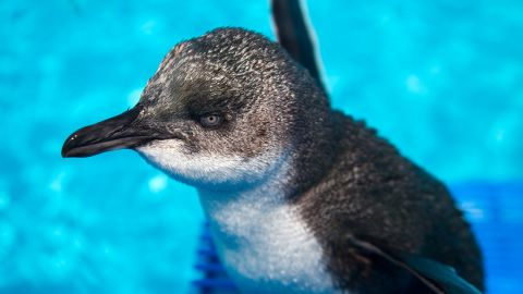 The adorable penguins are well-known in New Zealand for the shades of blue in their plumage.