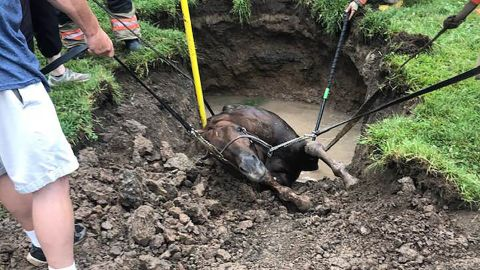 The racehorse being rescued on July 11.