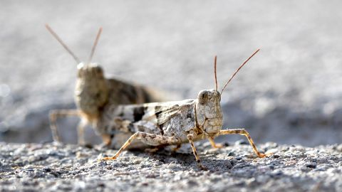 This Thursday, July 25, 2019, photo shows grasshoppers on a sidewalk outside the Las Vegas Sun offices in Henderson, Nev.  A migration of mild-mannered grasshoppers sweeping through the Las Vegas area is being attributed to wet weather several months ago. (Steve Marcus/Las Vegas Sun via AP)