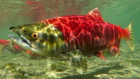 The Bristol Bay watershed is one of the world's most valuable wild salmon fisheries.