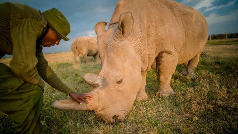 Northern white rhino keeper, James Mwenda, checks on Najin, one of the last two northern white rhino on the planet. Najin lives at Ol Pejeta Conservancy in Kenya.