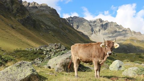 Seasonal grazing of herds at high altitudes is still practiced in many parts of the world, seen here in the Italian Alps.