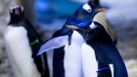 The penguin is the first to not have its gender assigned by the aquarium