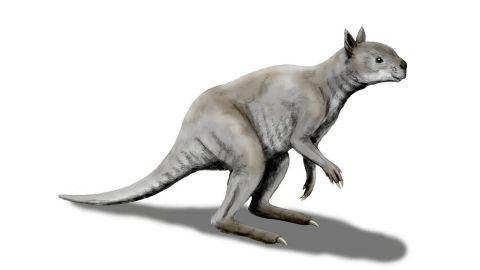 """An artist's illustration shows how different an ancient """"short-faced"""" kangaroo called Simosthenurus occidentalis looked, as opposed to modern kangaroos. Its skull more closely resembles a koala."""