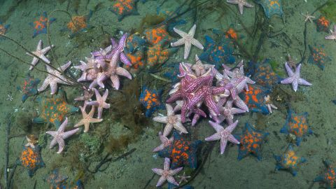 Growing up to half a meter in width, the Northern Pacific Seastar (also known as the Japanese Starfish) has spread from the North Pacific to the south coast of Australia. A single female can carry up to 20 million eggs. It's just one of the invasive species that are traveling to new environments and harming native ecosystems. <strong>Scroll through the gallery to see more of the planet's most problematic invasive species.</strong>